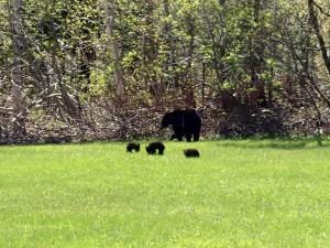 Bärenbegegnung in der Gaspésie